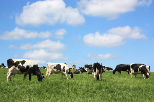 Dairy cattle in pasture - the right way